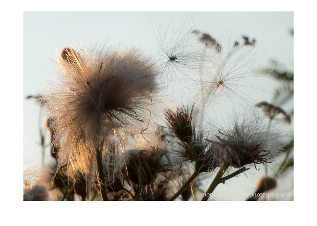 flowers of july 2015 Thistle down seeds