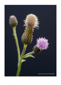 flowers of july 2015 milk thistle up close