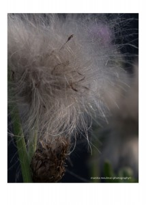 flowers of july 2015 milk thistle up close No.3