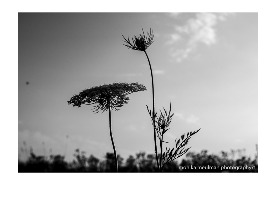 flowers of july 2015 queen annes lace black and white stately