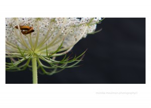flowers of july 2015 queen annes lace close up with bugs