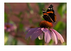 flowers of july 2015 red admiral and echinacea