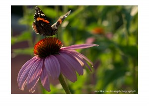 flowers of july 2015 red admiral and echinacea No.2