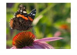 flowers of july 2015 red admiral and echinacea No.3
