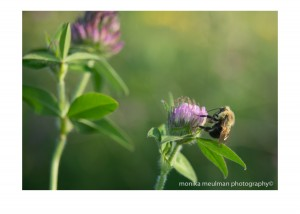 flowers of july 2015 red clover up close bees No.1