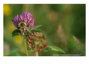 flowers of july 2015 red clover up close bees No.2