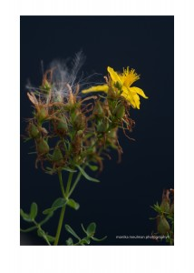 flowers of july 2015 st. johns wort close up