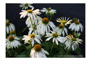 flowers of july 2015 white echinacea