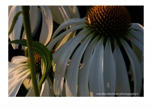 flowers of july 2015 white echinacea No.2