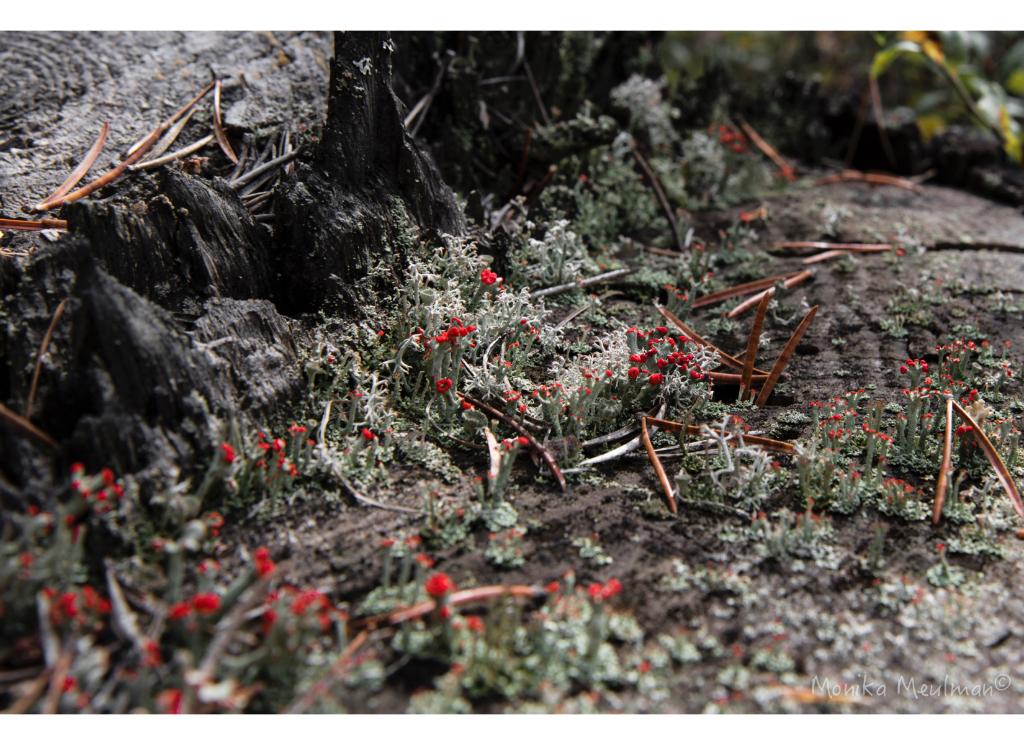 lichen-blooms